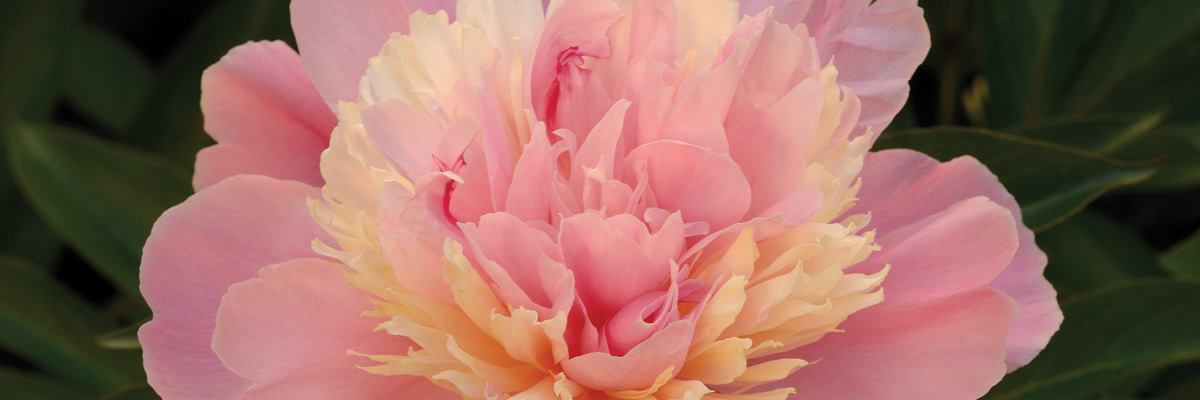 Gift of god peony sorbet la vie de la rose flower essences negle Gallery
