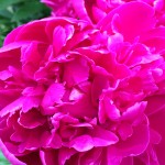 Developing Empathy Peony 'Karl Rosenfeld'